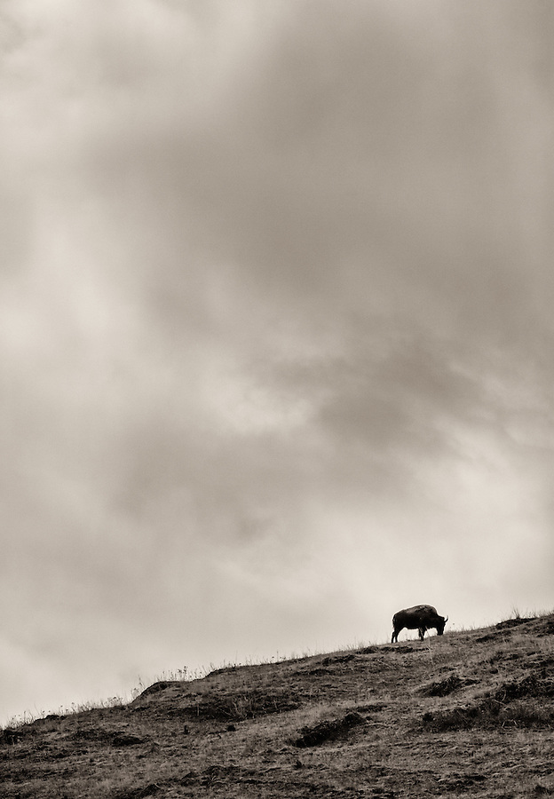 A single buffalo grazes along a rocky hillside in the National Bison Range, Montana.