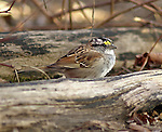 White throated sparrow at Montour Preserve, Washingtonville, PA