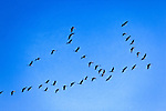 Sandhill Cranes in Flight against blue sky, Kenai Peninsula, Southcentral Alaska, Spring.