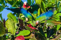 Cuban Parrots (Amazona leucocephala leucocephala) explode into the air after feeding. Playa Larga, Cuba.