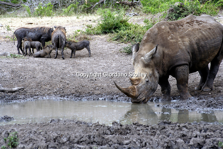 HLUHLUWE-UMFOLOZI PARK - 6 January 2006 - A rhinoceros drinks at a watering hole as the offspring drink milk from two warthog sows..Picture: Giordano Stolley
