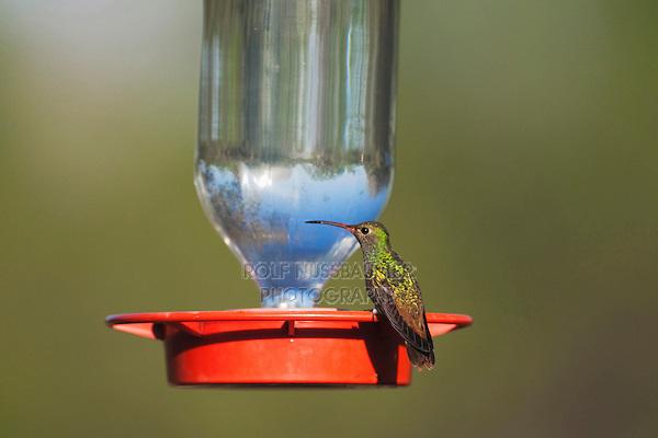 Buff-bellied Hummingbird (Amazilia yucatanenensis), male at feeder, Sinton, Corpus Christi, Coastal Bend, Texas, USA