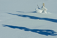 Coniferous tree saplings in snow, Kootenay National Park, British Columbia, Canada