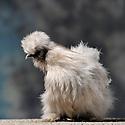23/11/12 - MONTLUCON - ALLIER - FRANCE - Concours National Avicole de Montlucon. Poule Soie barbue gris perle. Eleveur Yan Thenard - Photo Jerome CHABANNE
