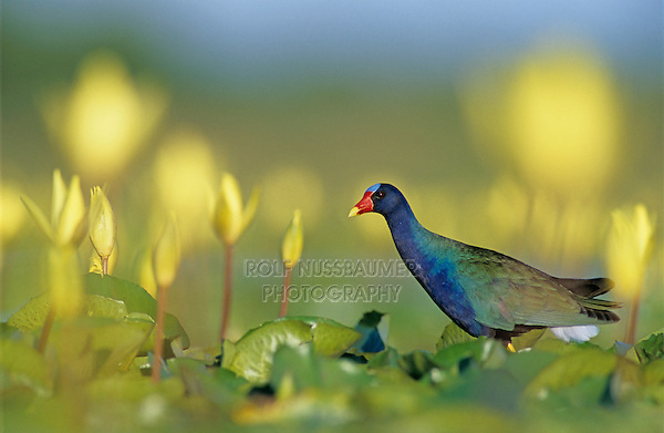 Purple Gallinule, Porphyrula martinica,adult on Yellow Water Lily pads eating Blossom, Welder Wildlife Refuge, Sinton, Texas, USA