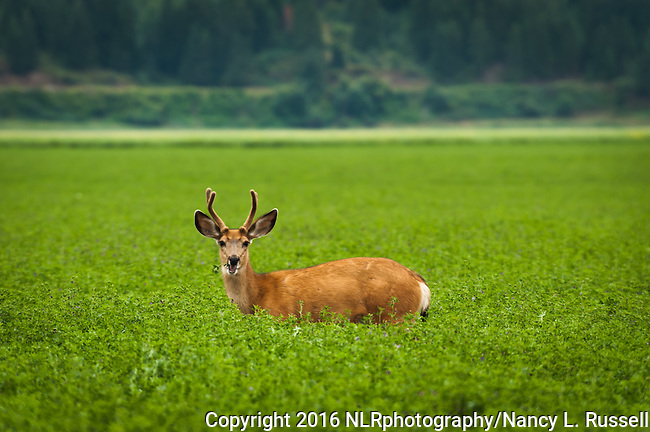 White tail deer grazing in the fields in North Idaho