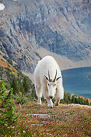 Mountain Goat (Oreamnos americanus).  Northern Rockies, Fall.