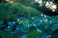 Group of lotus blossoms in pond