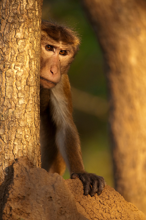 Salon (named by the Smithsonian research station), an eight year old male, leans around a tree. Standing on the edge of the group he watches for the approach of rival groups. Archaeological reserve, Polonnaruwa, Sri Lanka. IUCN Red List Classification: Endangered