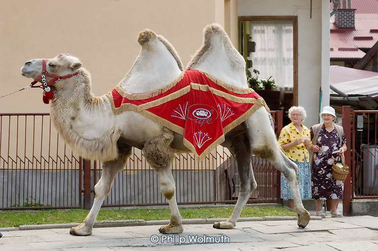 A circus camel surprises two elderly women in the small town of Ropczyce in south-eastern Poland