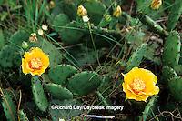 63808-02111 Prickly Pear Cactus (Opuntia humifusa) Revis Hill Prairie Nature Preserve Mason Co.  IL