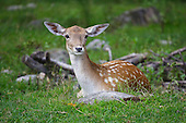 young deer resting in small field