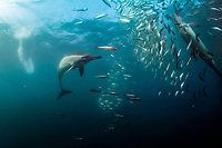 Long-beaked Common Dolphins, Delphinus capensis, feeding on school of Southern African Pilchards, Sardinops sagax, Port St. Johns, Wild Coast, Eastern Cape, Transkei, South Africa, Africa, Indian Ocean