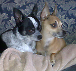 Chihuahua Jack B/W dob 12/16/06 8.8lb male<br /> Chi dob 8/25/04 Male