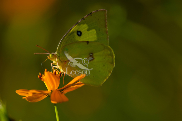Clouded Sulphur or Common Sulphur Butterfly (Colias philodice)