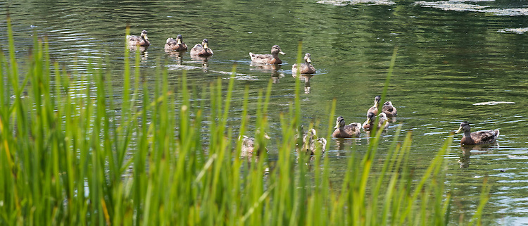 Ducks make their way around the Lincoln Park Zoo lake. (DePaul University/Jamie Moncrief)