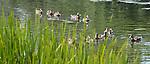 Ducks make their way around the Lincoln Park Zoo lake. (DePaul University/Jamie Moncrief)