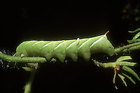 Garden insect pest Tomato Hornworm parasitized by natural predator Braconid wasp Manduca quinquemaculata in natural biological pest control . Caterpillar of the five-spotted hawkmoth, Manduca quinquemaculata