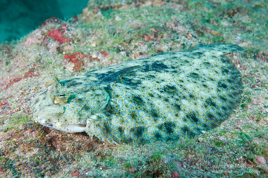 Cocos Island, Costa Rica; a Peacock Flounder (Bothus mancus) fish laying on the rocky reef