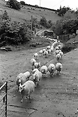 Martin Orbach brings his flock of milking sheep to the milking parlour at Cwm Farm, Peterchurch, Herefordshire