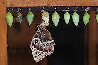 Blue Morpho, Morpho menelaus, adult newly emerged from pupa, captive, La Paz Waterfall Gardens, Central Valley, Costa Rica, Central America