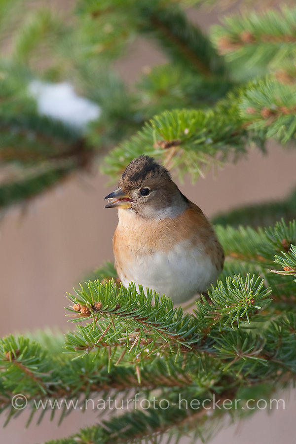 Bergfink, Berg-Fink, Weibchen im Schlichtkleid, Fringilla montifringilla, brambling, Pinson du Nord
