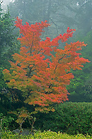 Japanese Maple in autumn fog, Washington