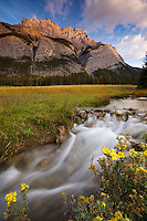 Mount Cascade in Banff as the rising sun gently kisses the summit. Stream in the foreground with yellow wildflowers