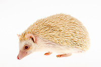 Four-toed Hedgehog or African Pygmy Hedgehog (Atelerix albiventris), albino