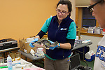 Veterinarian Kathryn Tuxbury With Injured Olive Ridley Sea Turtle, Welfleet Bay Wildlife Sanctuary / NE Aquarium, Audubon