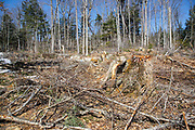 Unit 36 of the Kanc 7 Timber Harvest Project  during the spring months in the White Mountains of New Hampshire. Referenced from the Kanc 7 proposed package documents - The harvest method for Unit 36 was Group/STS (Group Selection & Single Tree Selection). Signs of the timber harvest project are visible when traveling along the Kancamagus Scenic Byway (route 112)
