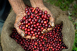 Handfull of coffee cherries on a coffee farm in western El Salvador.