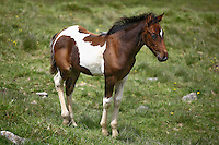 Side view of a cute, multicolored foal in a meadow