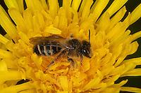Gelbfüßige Sandbiene, Gemeine Sandbiene, Blütenbesuch, Nektarsuche auf Löwenzahn, Andrena flavipes, Yellow-legged mining bee, Yellow-legged mining-bee