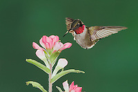 Ruby-throated Hummingbird (Archilochus colubris), male feeding on Texas Paintbrush (Castilleja indivisa), Fennessey Ranch, Refugio, Coastal Bend, Texas, USA