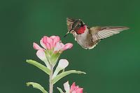 Ruby-throated Hummingbird (Archilochus colubris), male feeding on Texas Paintbrush (Castilleja indivisa), Fennessey Ranch, Refugio, Coastal Bend, Texas, USA
