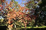 Israel, Southern Coastal plain. Persimmon tree in Mikveh Israel Botanical Garden