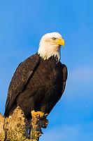 bald eagle Haliaeetus leucocephalus Homer Alaska