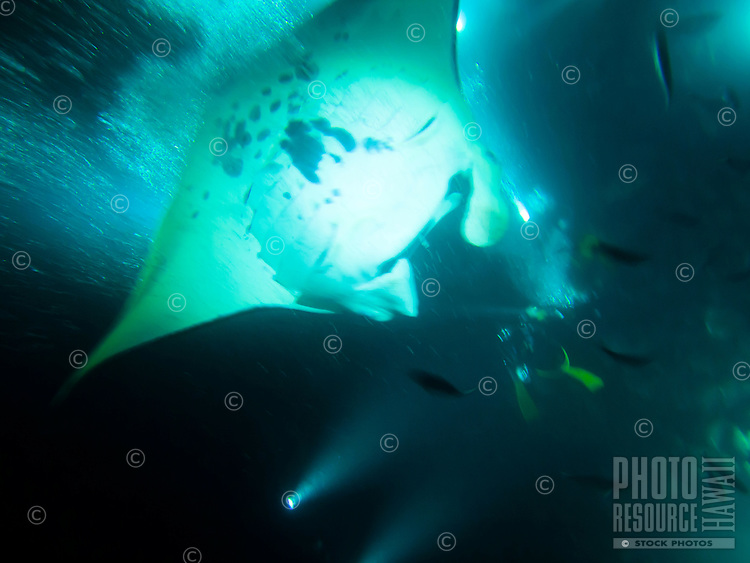 A manta ray feeding on fish is illuminated by scuba divers' flashlights at night, Big Island