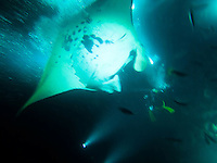 A manta ray feeding on fish is illuminated by scuba divers' flashlights at night, Big Island