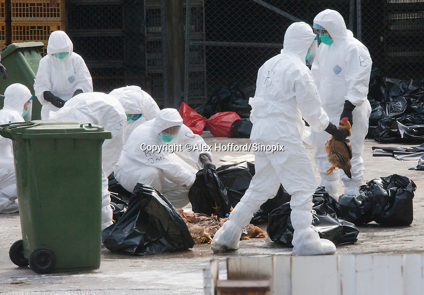 Hong Kong Health Department workers are seen disposing of dead chickens during a cull of 20,000 chickens, in the wake of a discovery of the H7N9 bird flu virus in a batch of live chickens imported to the city from the southern Chinese province of Guangdong, Hong Kong, China, 28 January 2014. The Hong Kong government also announced it would suspend imports of fresh poultry from mainland China for 21 days.
