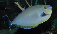 QX1071-D. Bignose Unicornfish (Naso vlamingii), aquarium photo.<br /> Photo Copyright &copy; Brandon Cole. All rights reserved worldwide.  www.brandoncole.com