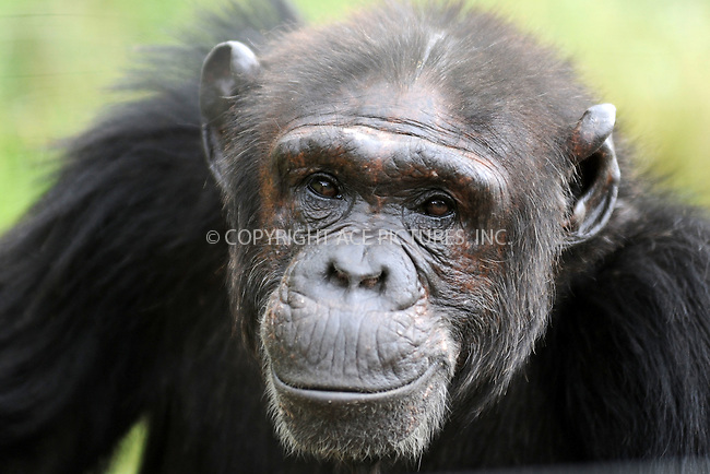 WWW.ACEPIXS.COM<br /> February 29, 2016 New York City<br /> <br /> Chimpanzee seen in Sweetwaters Chimpanzee Sanctuary Ol Pejeta Conservancy on February 29, 2016 in Kenya.<br /> <br /> Credit: Kristin Callahan<br /> web: http://www.acepixs.com