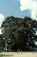 Giant ahuehuete cypress tree at El Tule, near the city of Oaxaca, Mexico