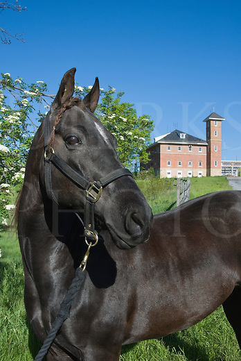 Picture of Morgan horse in summer portrait showing equine poise and grace.