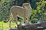 IMAGES OF SAN DIEGO, CALIFORNIA, USA, WILD ANIMAL PARK; CHEETAH (Acinonyx jubatus)
