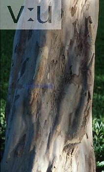 Bark of Allspice/Pimenta ,Pimenta dioica, Maui Hawaii