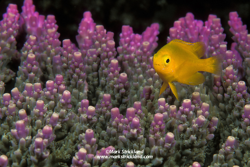 A juvenilie Lemon Damselfish, Pomacentrus moluccensis, hovers over its home, a colony of Acropora coral. Raja Ampat Islands, West Papua, Indonesia, Pacific Ocean.