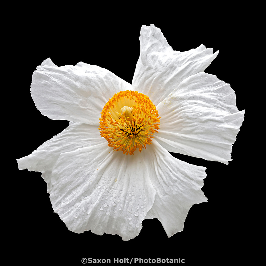 Romneya coulteri (Matilija Poppy), white flowering California native perennial wildflower silhouette on black
