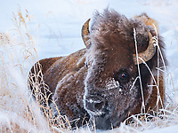 A Yellowstone buffalo seems to be giving me the stink eye, maybe warning me I'm too close.